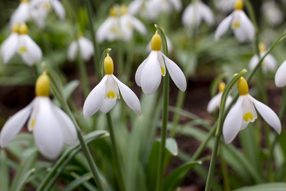 Best Snowdrops To Grow Bbc Gardeners World Magazine