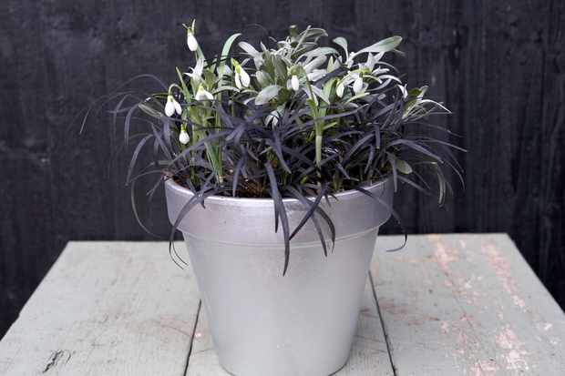 Snowdrop pot display