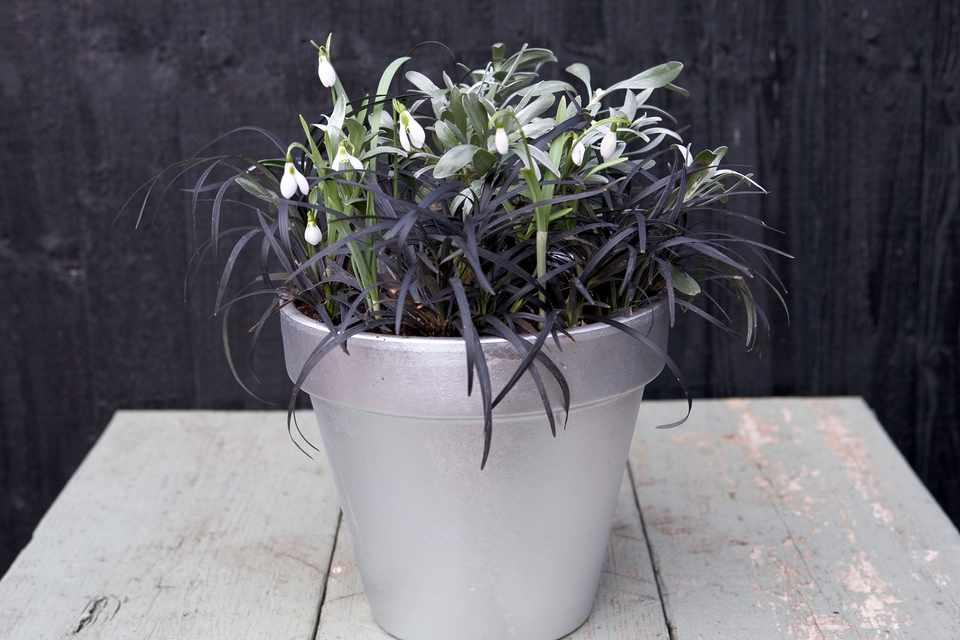 Snowdrop pot display