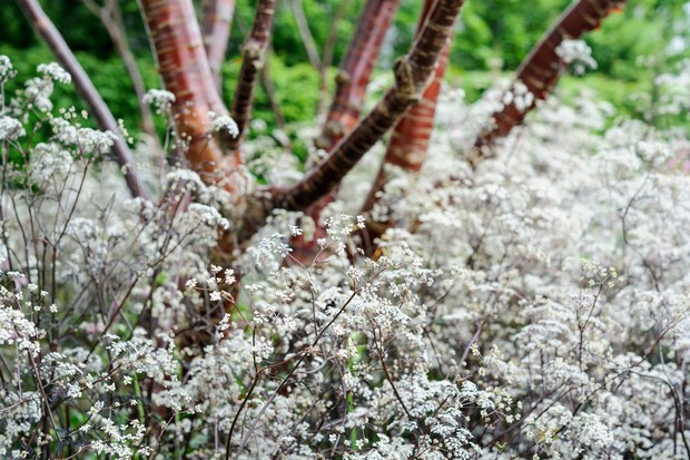 cow-parsley-underplanting-3