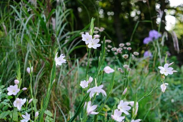Pink-white flowers of <em>Hesperantha coccinea</em> 'Pink Princess'