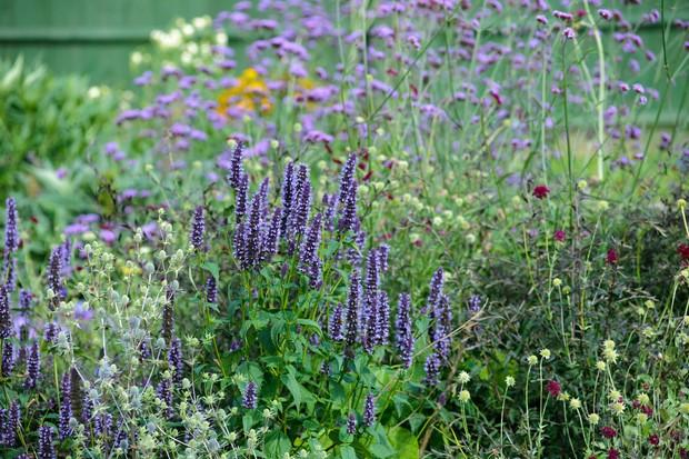 Eryngium, agastache, scabious and <em>Verbena bonariensis</em>