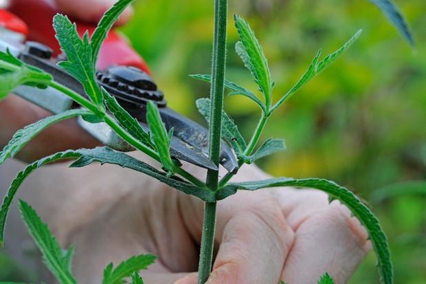 Pruning a stem of verbana just above a node