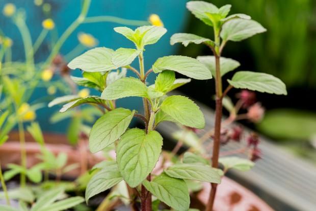 water-mint-mentha-aquatica-5
