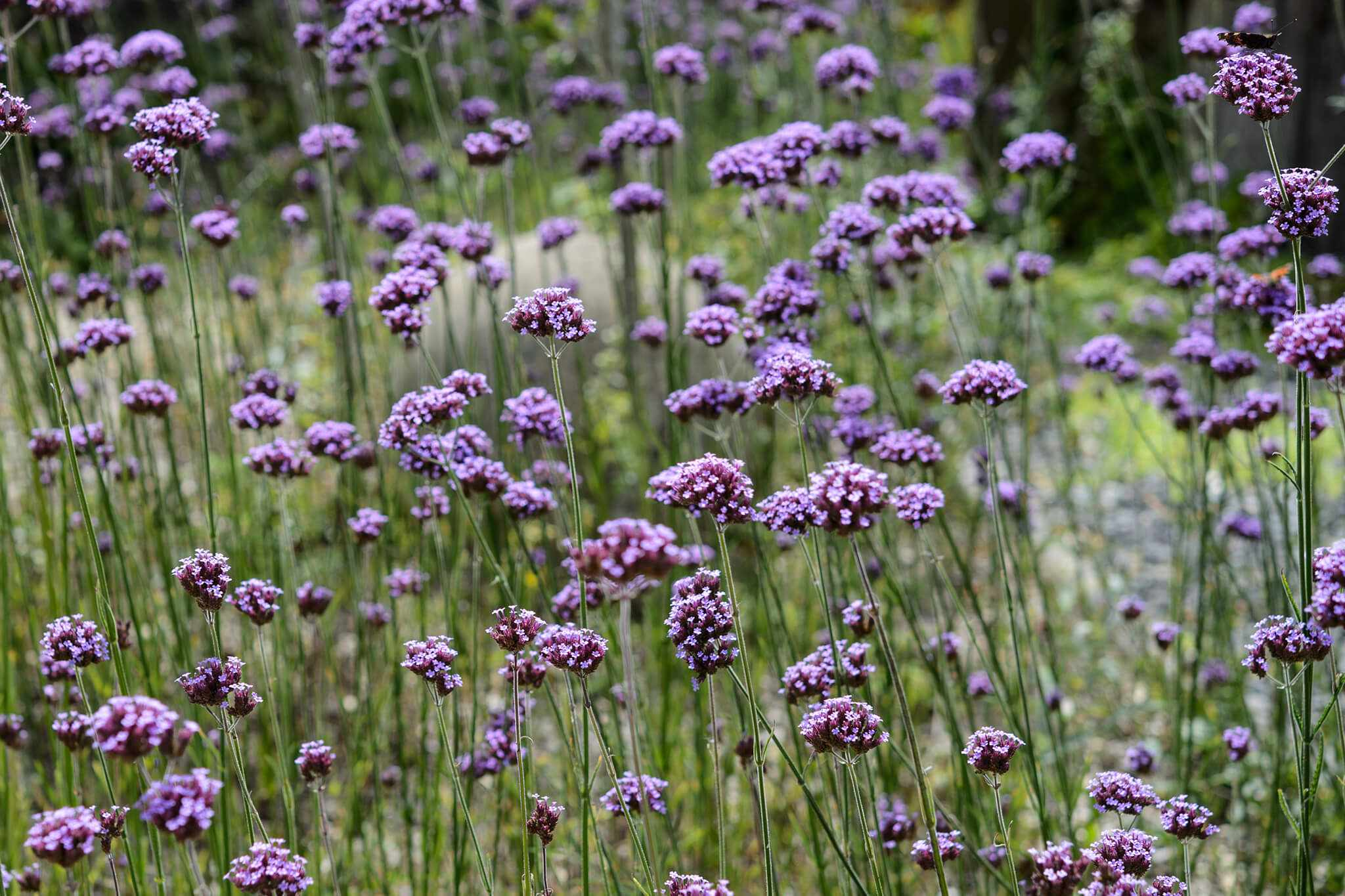 Verbena bonariensis – Grow Guide