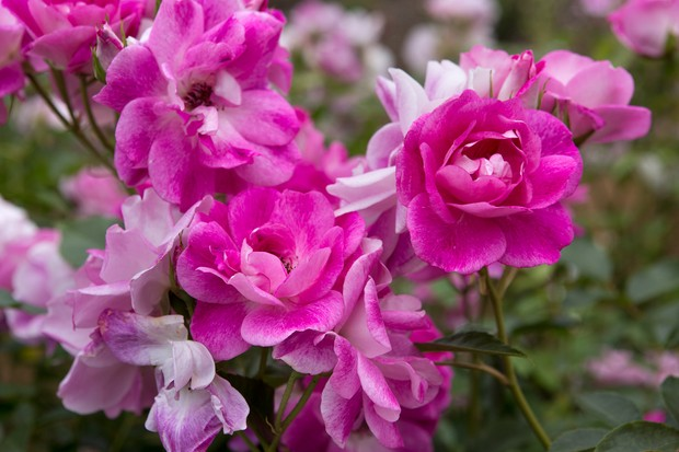 pink-roses-2