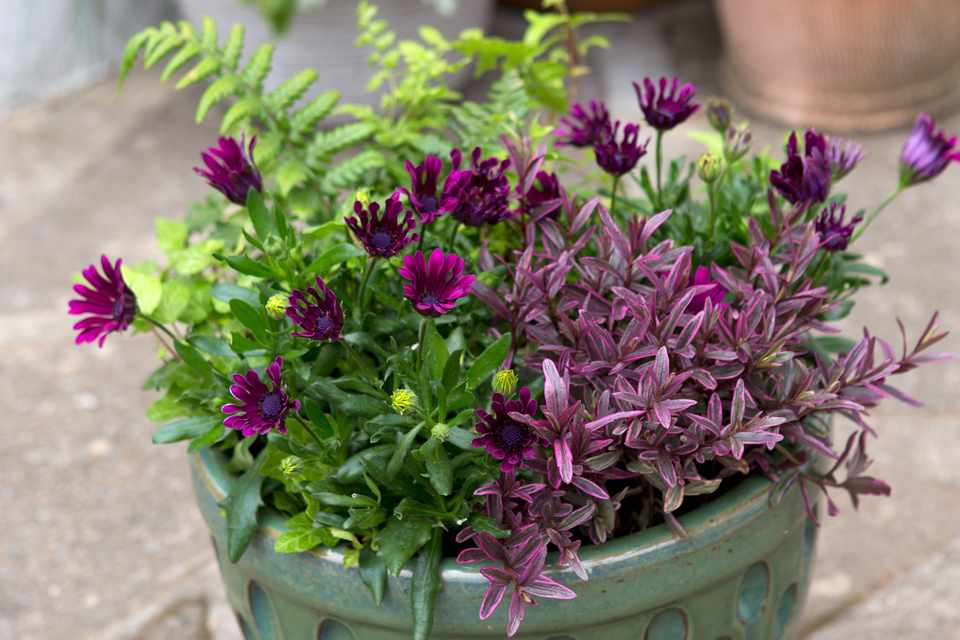 Osteospermum and hebe pot display