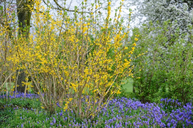 Brilliant yellow forsythia with contrasting bluebells beneath