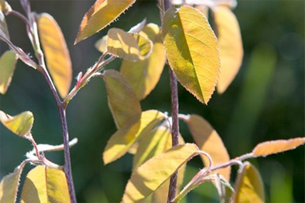 Sunlight shining through coppery-pink and pale-yellow foliage of snowy mespilus