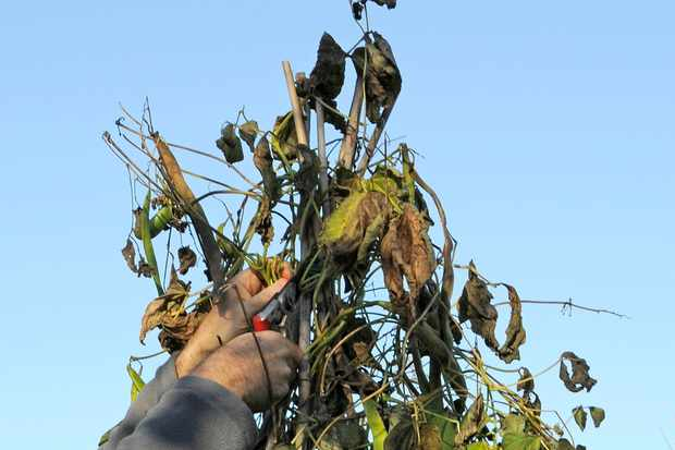removing-old-runner-bean-stems-from-a-wigwam-support-2