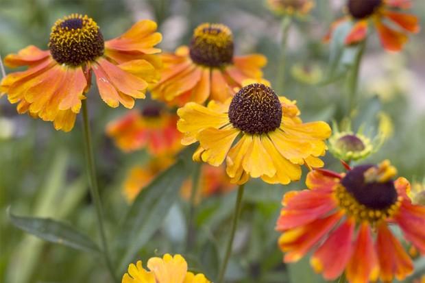 Orange, daisy-like helenium flowers
