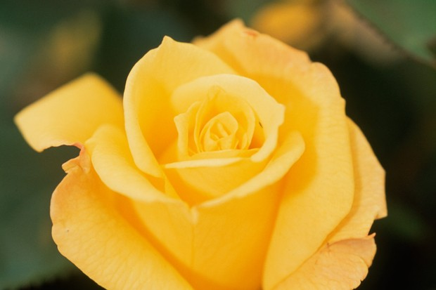 rose-sweet-remembrance-3