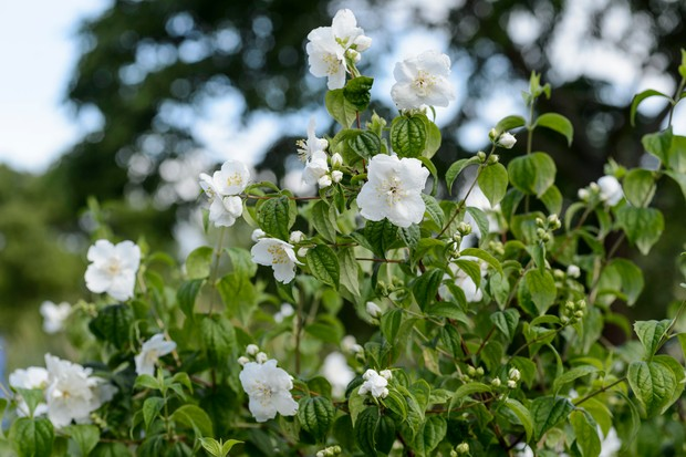 White flowers of the mock orange Philadelphus 'Belle Etoile'