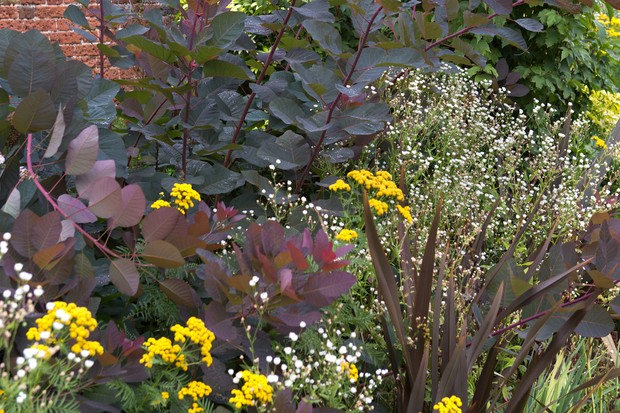 Purple cotinus growing in a border