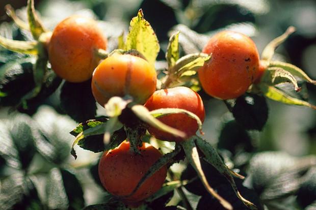 Round orange hips of Rosa 'Fru Dagmnar Hastrup'