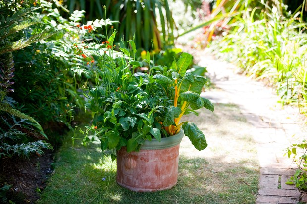 A pot planted with Irish poet, yellow-stemmed chard and chilli peppers