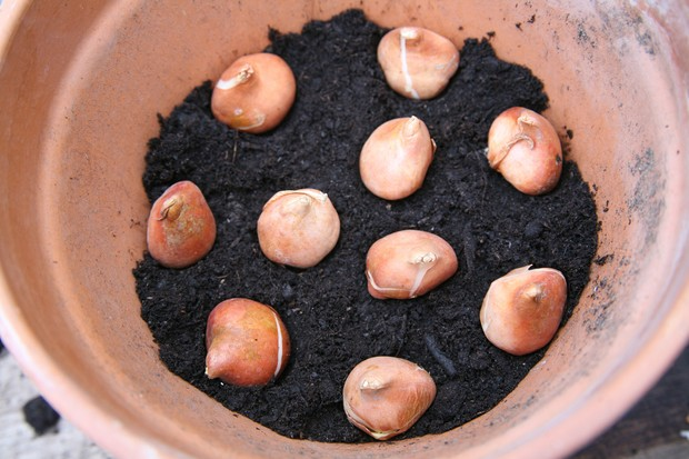 planting-bulbs-in-a-pot-2