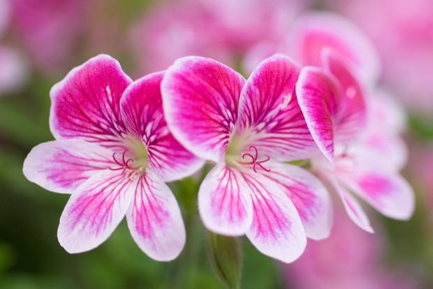 pink-pelargonium-2