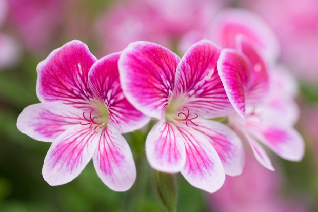 Pink and white pelargoniums