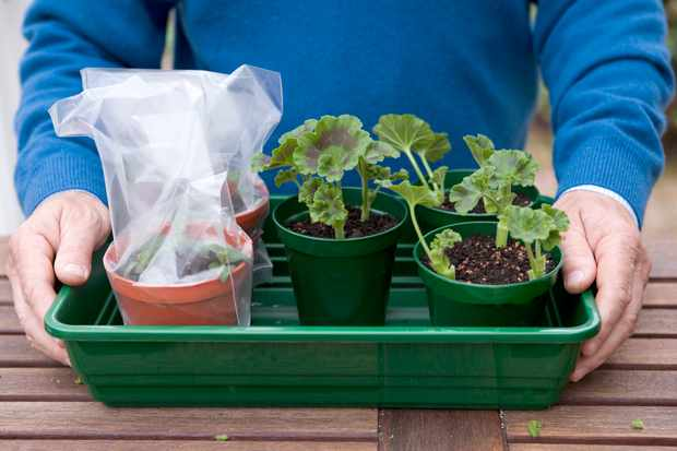 How to take cuttings from bedding geraniums