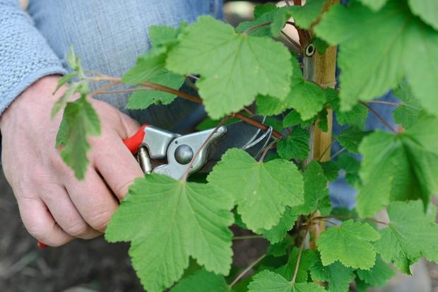 Pruning a currant bush