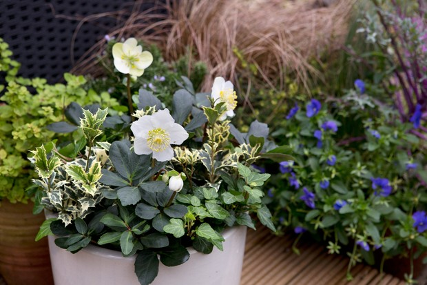 hellebore-and-holly-container-2