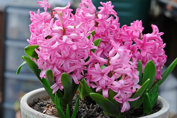hyacinths-4