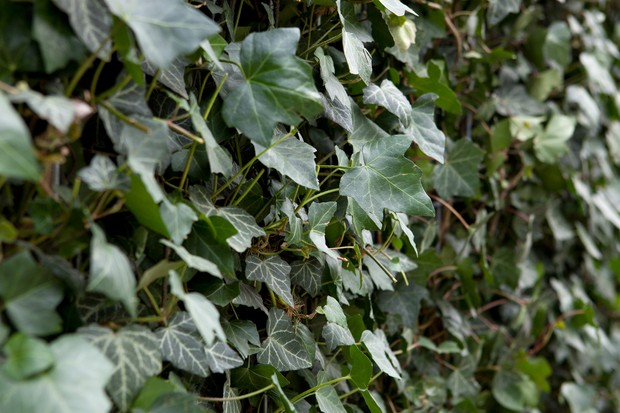 Bushy mature ivy