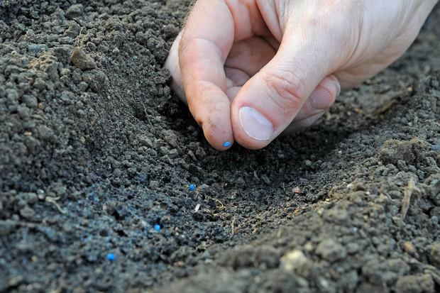 sowing-leek-seeds-2