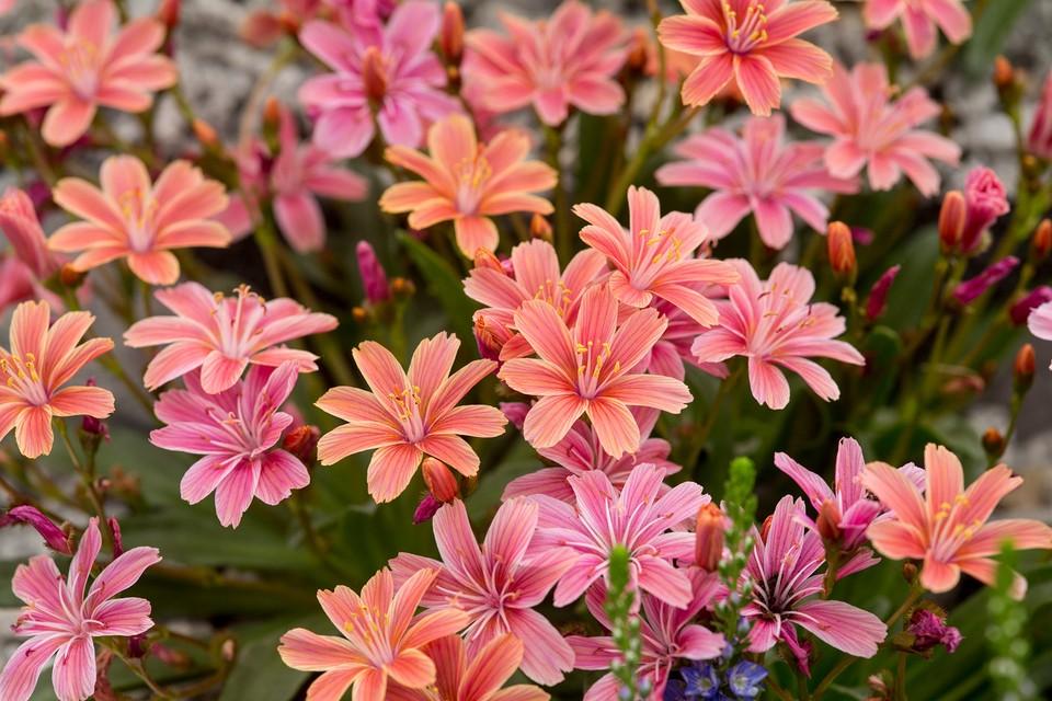 10 Alpine Plants To Grow Bbc Gardeners World Magazine