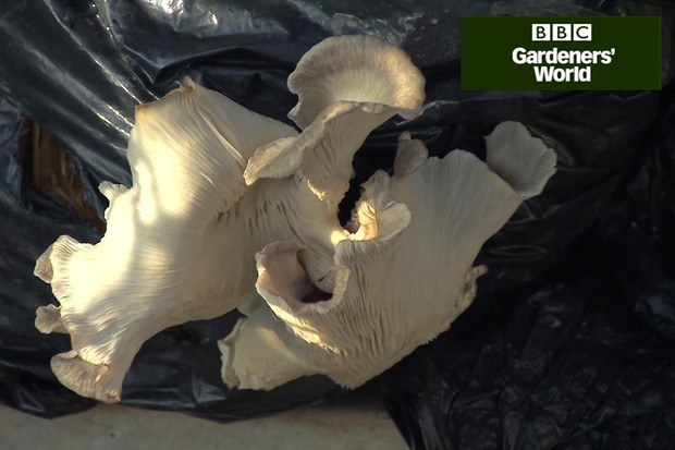How to grow mushrooms part three video