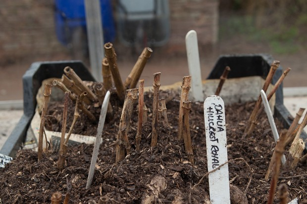 Dahlia tubers ready to be stored over winter