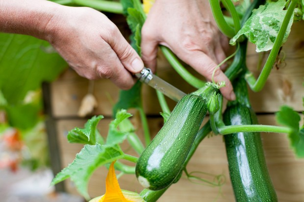 harvesting-courgettes-on-the-allotment-2