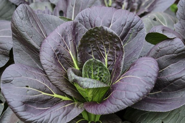 Purple leaves of Pak choi 'Rubi'
