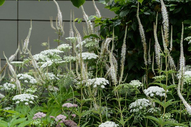 ammi-majus-and-veronicastrum