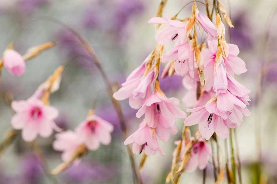 Pink flowers of dierama on grass-like stems