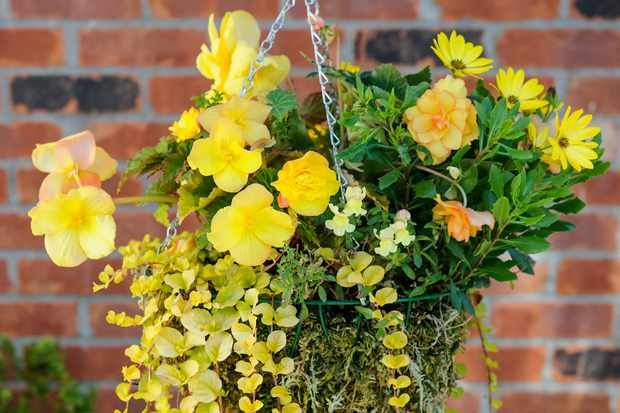 begonia-and-osteospermum-hanging-basket-3