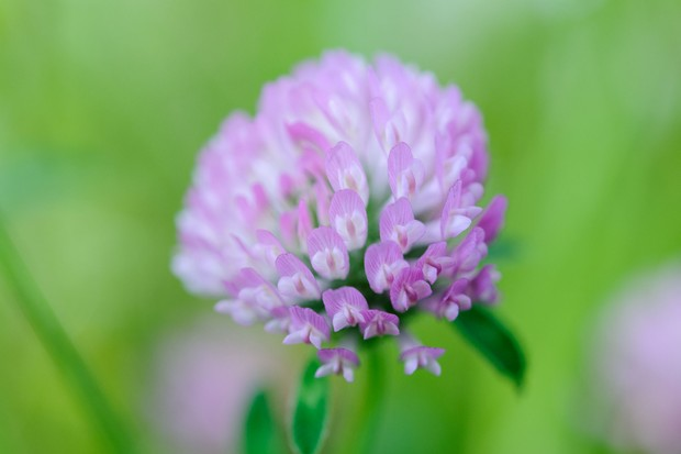 A close-up of a pink flower of red clover