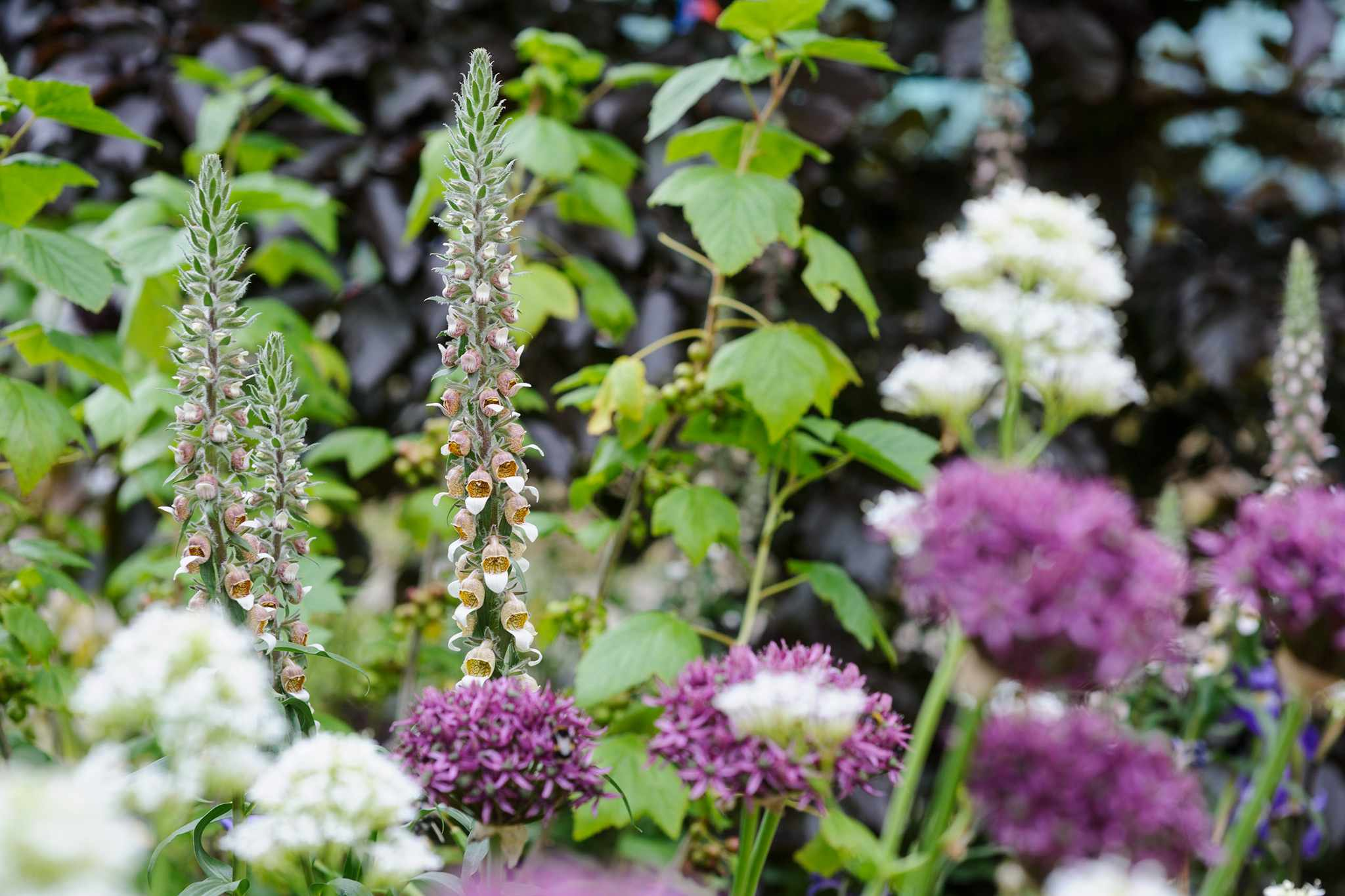 Rusty foxgloves, white valerian and alliums