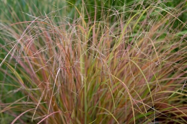pheasant-grass-2