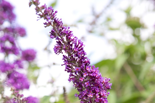 Vivid purple flowers of <em>Buddleja davidii</em> 'Ile de France'