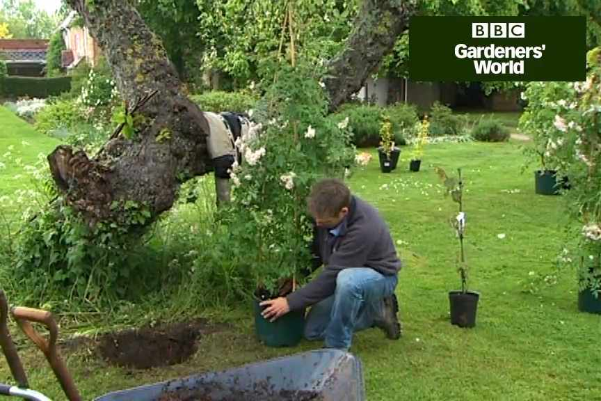 How to plant a rambling rose video