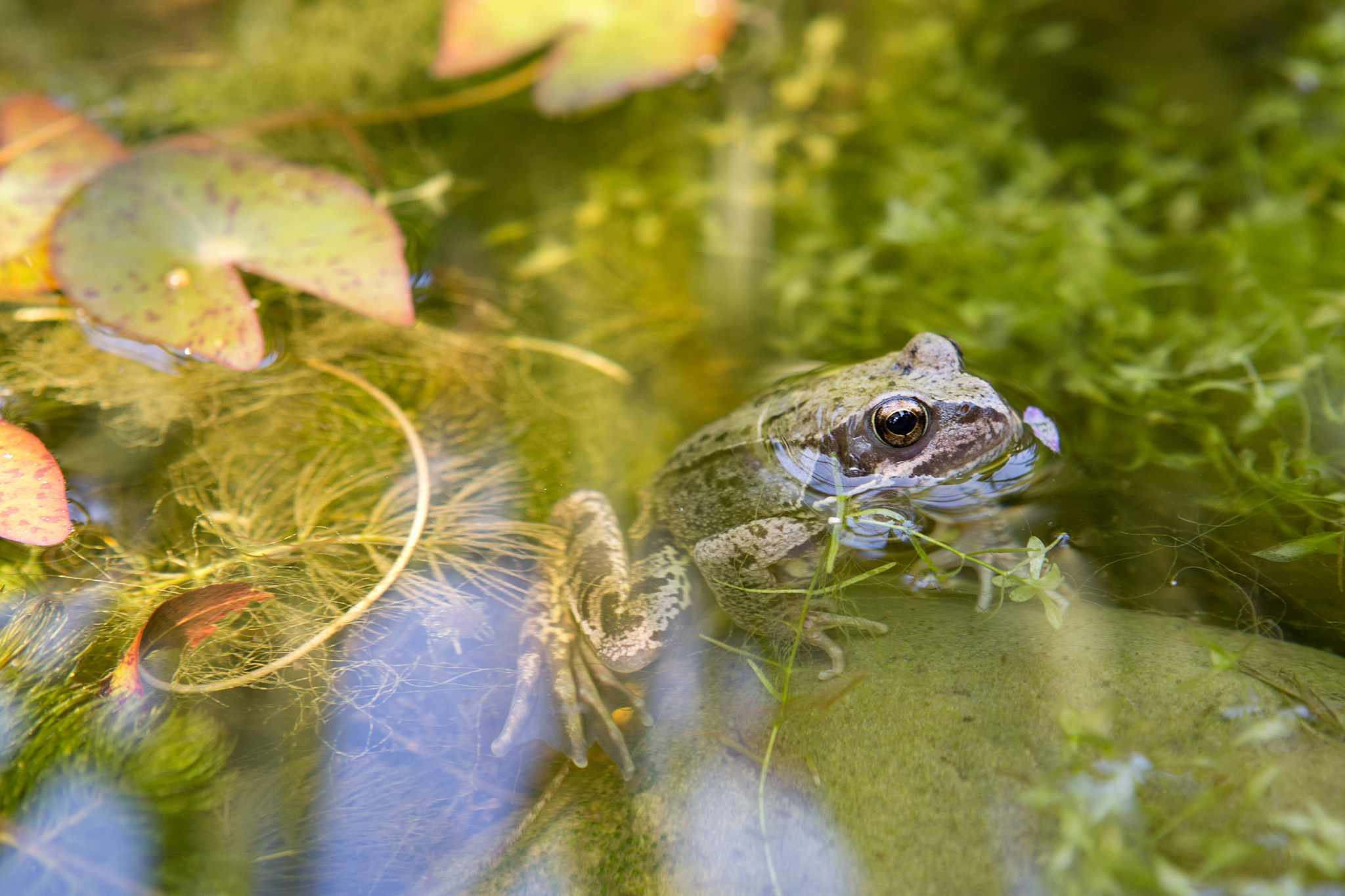 Common frog in pond