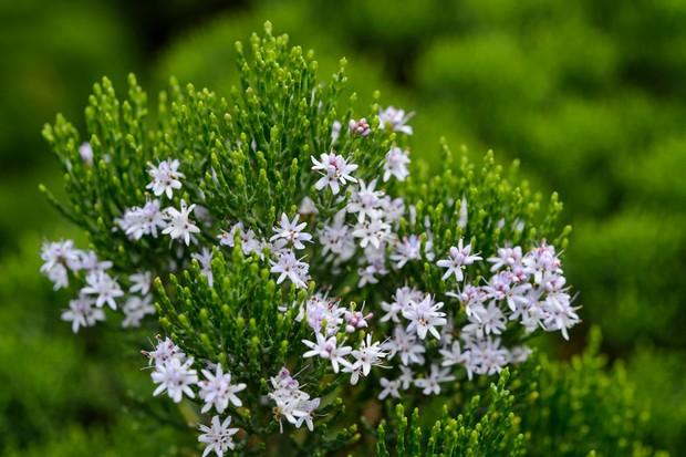 hebe-cupressoides-2