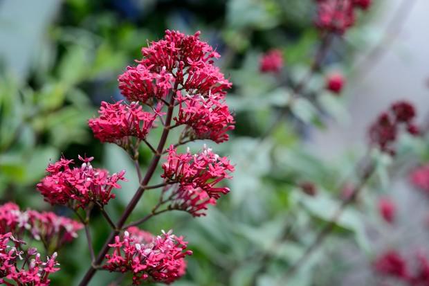 red-valerian-centranthus-ruber-4