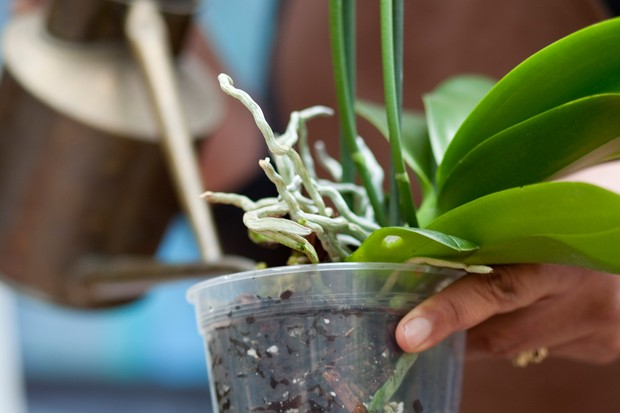 watering-a-moth-orchid-4