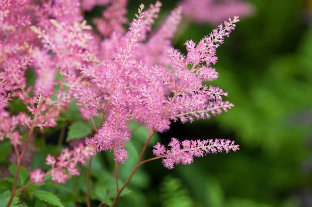 Best plants with pink flowers gardenersworld astilbe mightylinksfo
