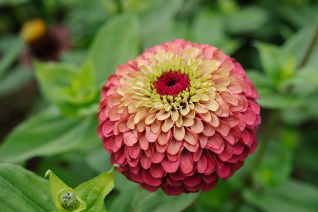 Unusual red and green flower of zinnia 'Queen Red Lime'