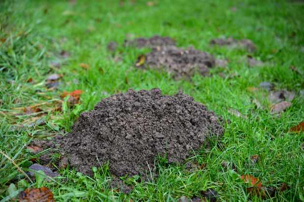 Molehills - freshly dug mounds of earth - in a lawn