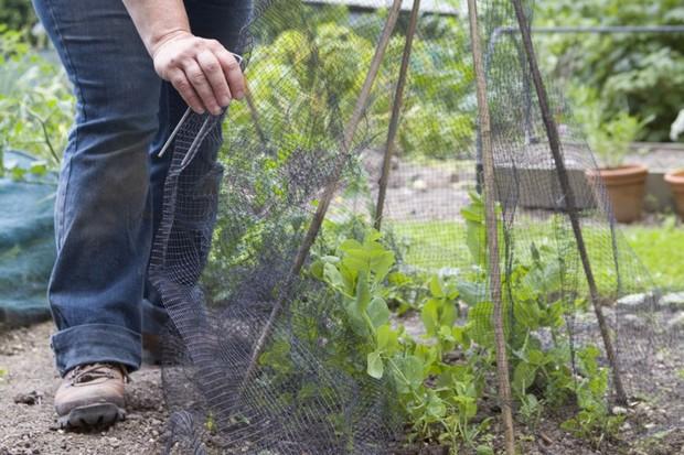 Placing mesh around sugar snap peas